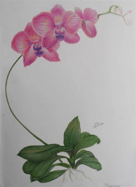 orchid color pencil drawing study  shikifourseasons