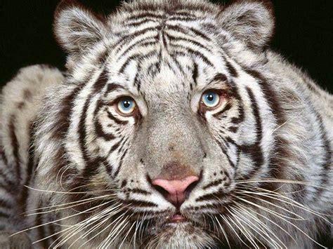 Fierce Animal Wallpapers - fierce tiger free wallpaper world