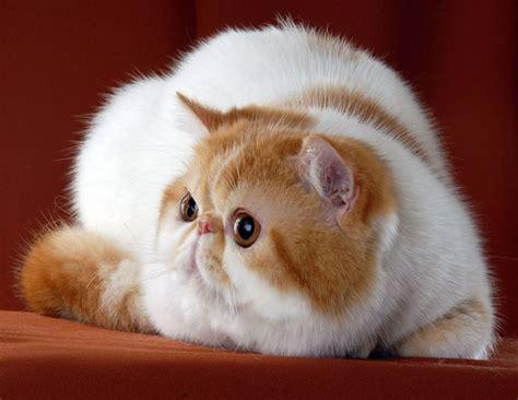 El gato, main character in the novel keeper by mal peet. Características del gato exótico de pelo corto