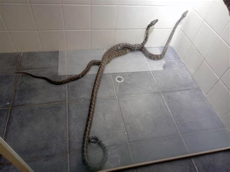 terrifying moment  big snakes fight dirty   womans