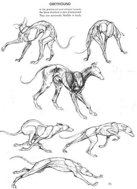 greyhound dog anatomy reference  movement creature