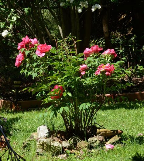 growing peonies in florida growing peonies in florida 28 images tree peonies diy garden projects vegetable gardening