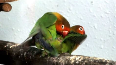mating fischers lovebird youtube