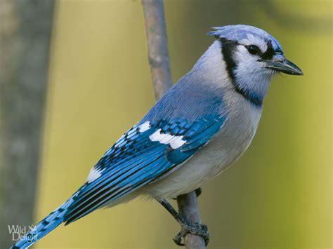 platform bird feeder blue delightwild delight