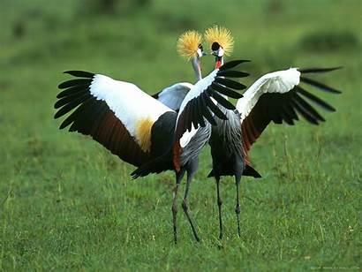 Bird Fight Birds Animals Wallpapers Fighting Animal