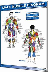 This Male Muscle Diagram Poster Pinpoints Every Muscle