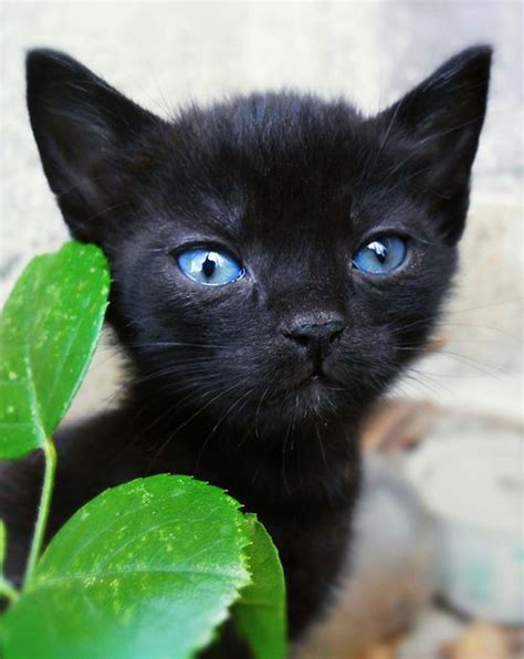 Baby Black Cat with Blue Eyes
