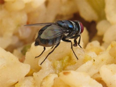 fly cuisines what actually happens when a fly lands on your food