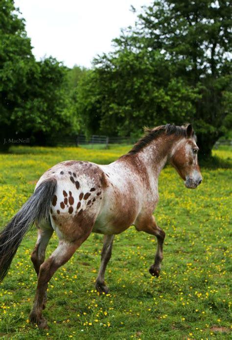 horses appaloosa horse varnish strawberry roan spots lots pretty appy leopard breeze appaloosas caballos pony spotted quarter riding flickr stubborn