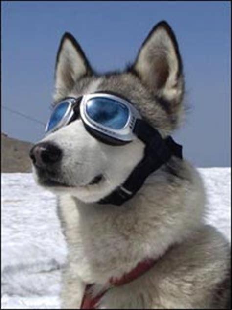 hunde sonnenbrillen  uva und uvb schutz fuer hunde