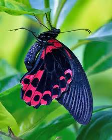 Blue Pink and Black Butterflies