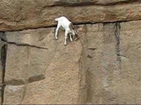 amazing wall climbing goat funny  pinterest
