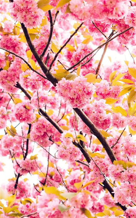 Beautiful Hd Wallpaper For Mobile Screen by Beautiful Cherry Flowers Free Hd Mobile Wallpapers