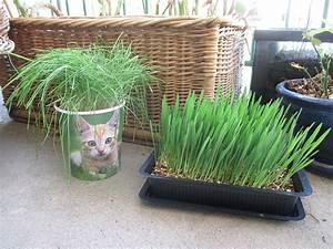 Herbe à Chat : herbe aux chats wikip dia ~ Melissatoandfro.com Idées de Décoration