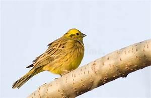 Oiseau Jaune Et Bleu : petit oiseau jaune sur le fond bleu photos libres de droits image 3928518 ~ Melissatoandfro.com Idées de Décoration