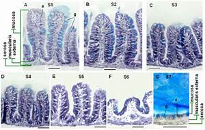 Histological Features Of Adult Zebrafish Intestine Along