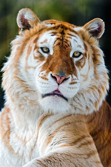 Melancholic Golden Tiger Like The Expression