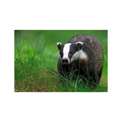 European Badger - Meles meles The Animal Encyclopedia