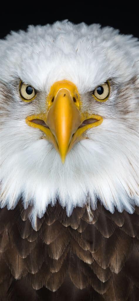 wallpaper bald eagle front view beak eyes  uhd