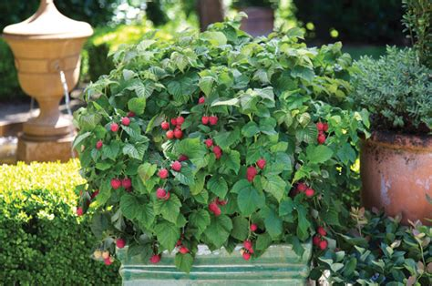 framboisier rasberry shortcake fruit pot plant jpg
