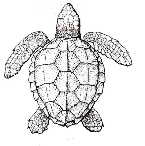 realistic sea turtle coloring page  print