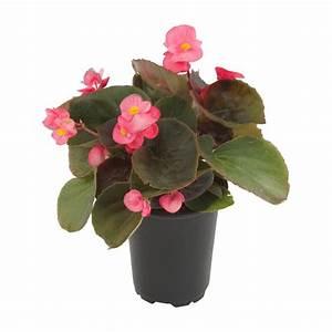 4 5 in Begonia Bronze Leaf Pink (3-Plants)-DC45BEGBRP
