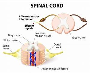 Spinal Cord Injury Classification And Syndromes