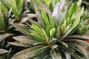 Oleander Hat Gelbe Blätter : l use am oleander diese hausmittel helfen gegen gelbe ~ Lizthompson.info Haus und Dekorationen