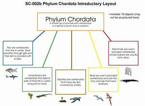 Phylum Chordata Layout – Montessori Materials by Lakeview  Phylum
