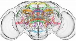 A Novel Method To Find Out Sensory Neuron Tracts In The Drosophila Brain