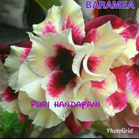 jual bibit bunga kamboja batik  barame triple  lapak