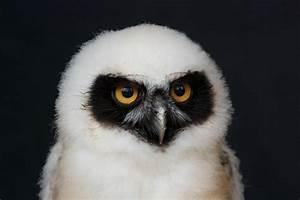 Spectacled Owl - GMS Tech Curriculum Development