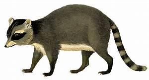 Vintage Printable Image - Raccoon - Instant Art - The ...