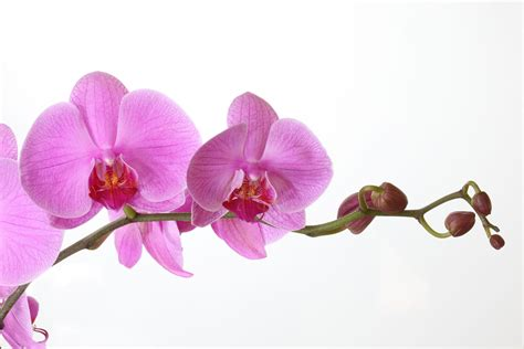 phalaenopsis orchid phalaenopsis orchid in bloom free shipping