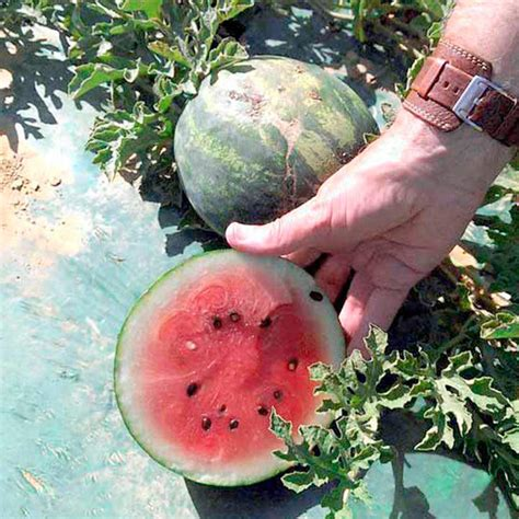 watermelon grafted mini love  grafted vegetables vegetable plants vegetables garden