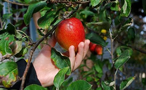 Common types of apples - Gardening Site