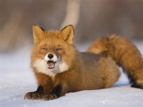 Red Fox  The Life Of Animals