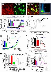 Colocalization And Function Interaction Of Trpc3 And Csr