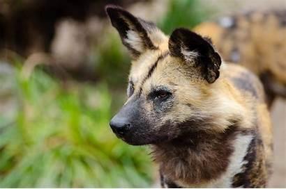 Wild Dog African Zoo Endangered Pup Za