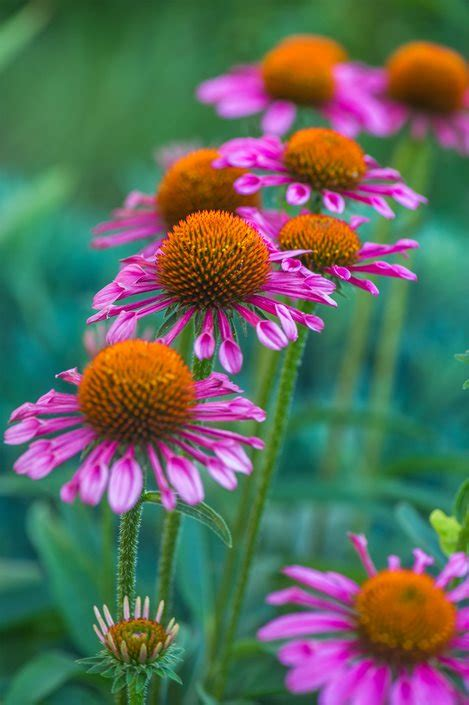 echinacea care coneflower care planting growing echinacea flowers garden design