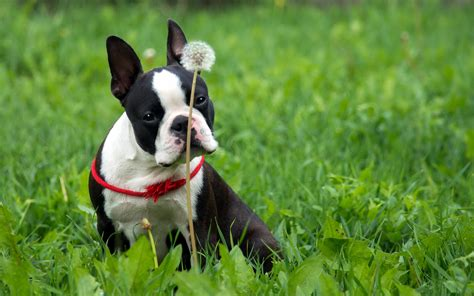 boston terrier hd wallpapers background images