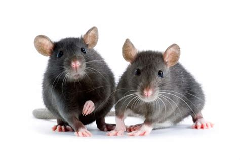 rats  mice differences questions  answers