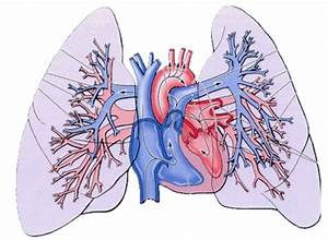 Docs Network  Regional Anatomy Of Thorax