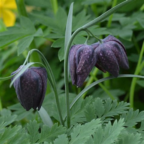 Guinea Hen Flower; Checkered Lily (Fritillaria meleagris)