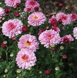 Dendranthema Hybride Balkon : chrysanthemum indicum hybride 39 schwabenstolz ~ Lizthompson.info Haus und Dekorationen