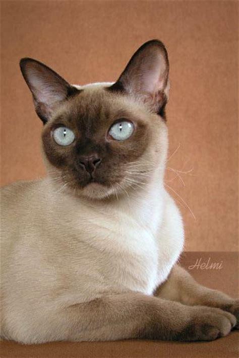 tonkinese cat painting  amanda  poc