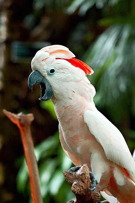 moluccan cockatoo moluccan cockatoo birds parrots etc pinterest