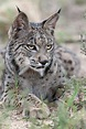The Iberian Lynx Will Go Extinct In 50 Years - Business ...
