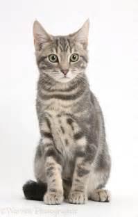 tabby cat sitting photo wp37952