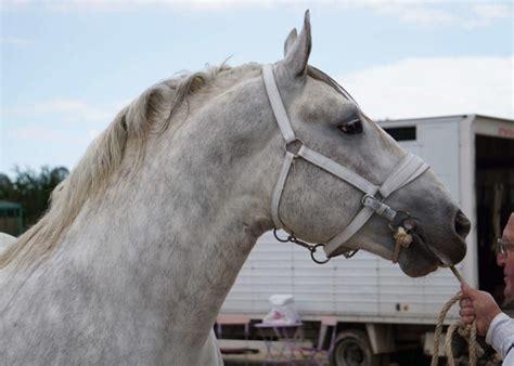 rare france horses horse endangered marble meet ihearthorses